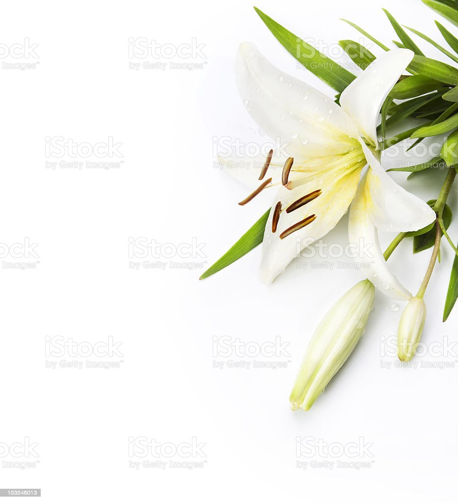 madonna lily isolated on a white background stock photo