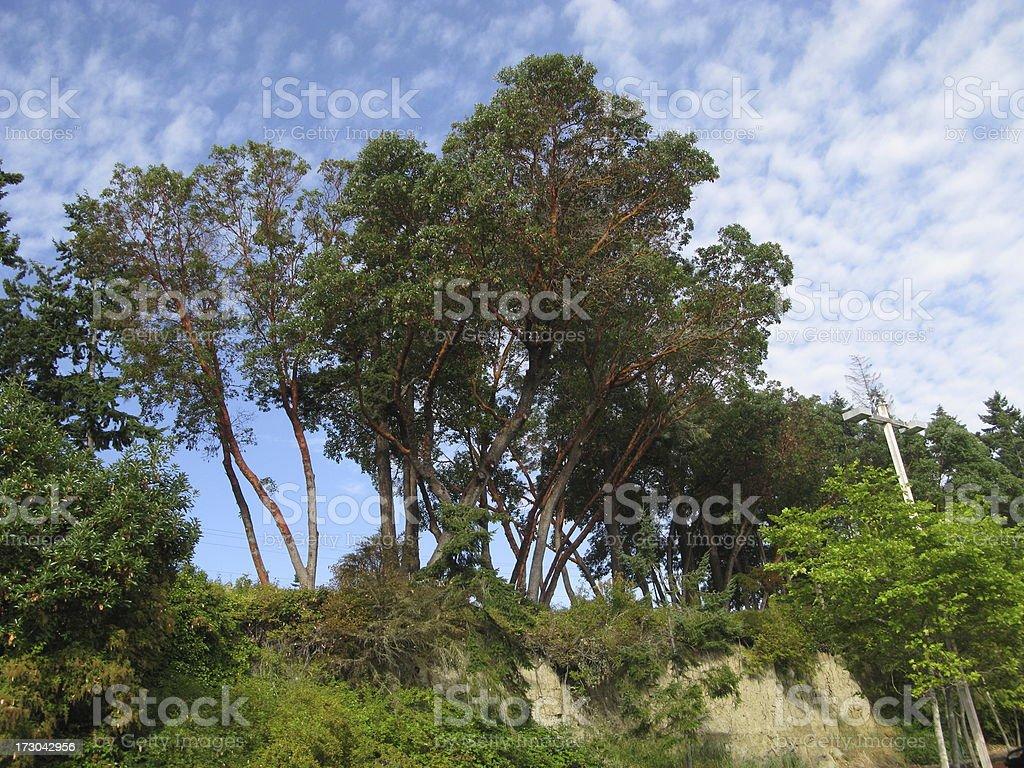 Madrona Trees royalty-free stock photo