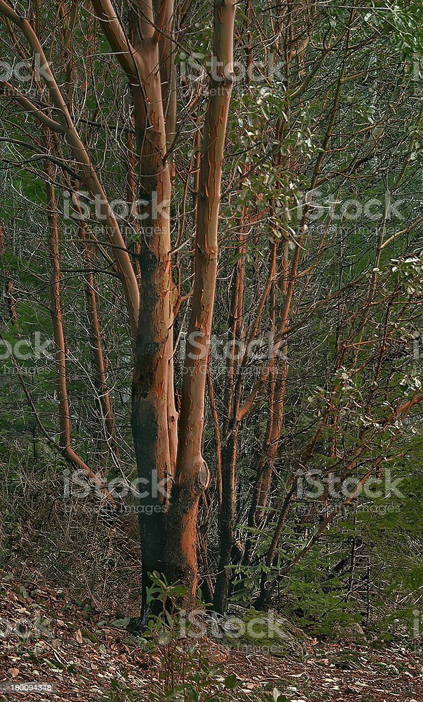 Madrona Trees stock photo