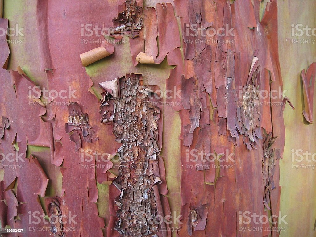 Madrone Tree Bark 4 stock photo