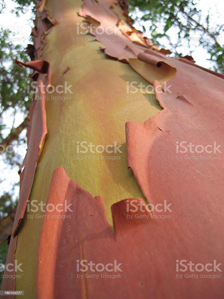 Madrone Tree Bark 5 royalty-free stock photo