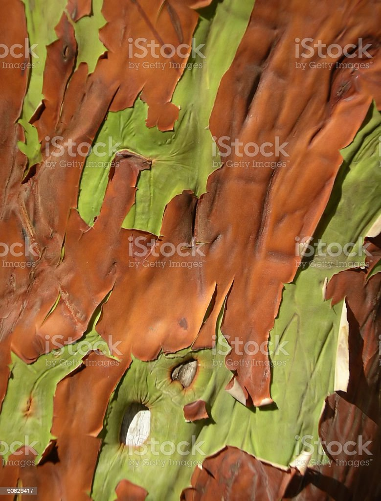 Madrone tree bark royalty-free stock photo