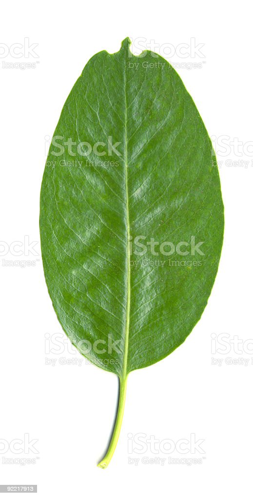 Madrone Tree Leaf isolated stock photo
