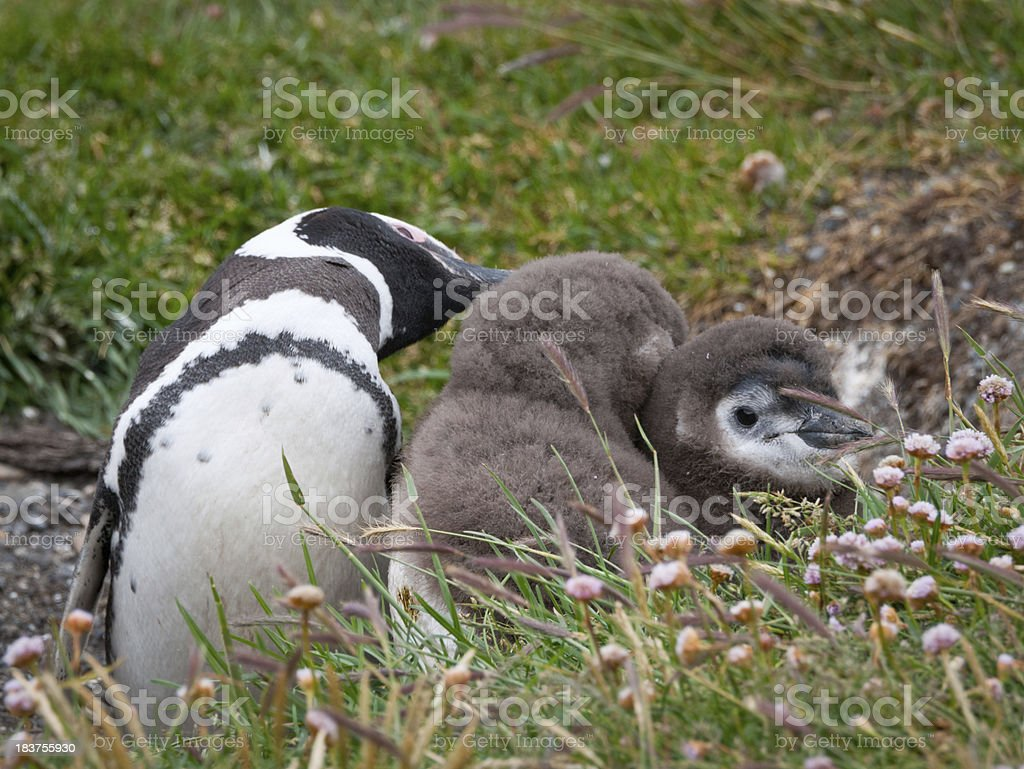 Magellan Penguin mother and sons (Tierra del Fuego) royalty-free stock photo