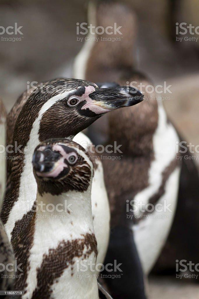 Magellan Penguin royalty-free stock photo
