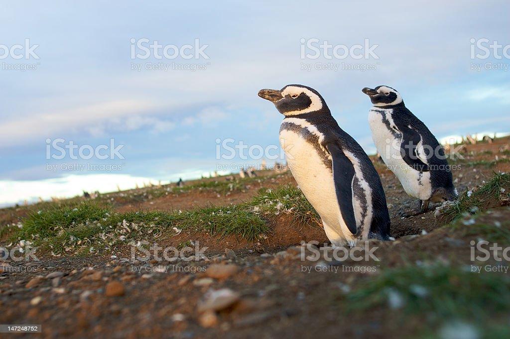 Magellan penguins in Patagonia stock photo