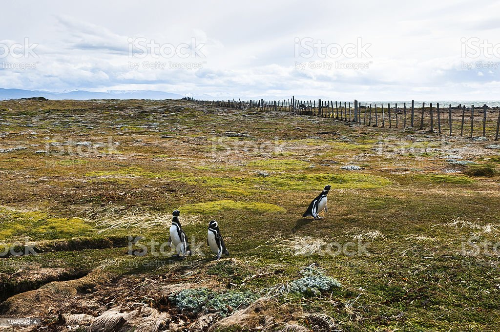Magellan Penguins in Patagonia. Punta Arenas (Chile) royalty-free stock photo