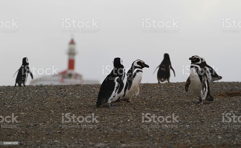 Magellan penguins on an island with a lighthouse in Chile stock photo