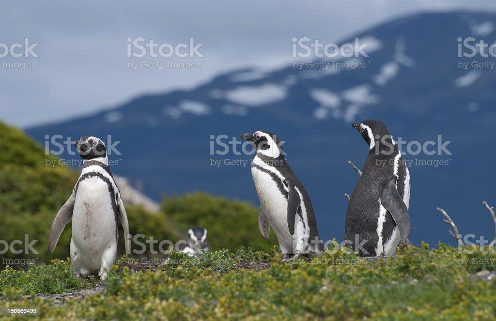 Magellan penguins (Tierra del Fuego-Argentina) royalty-free stock photo