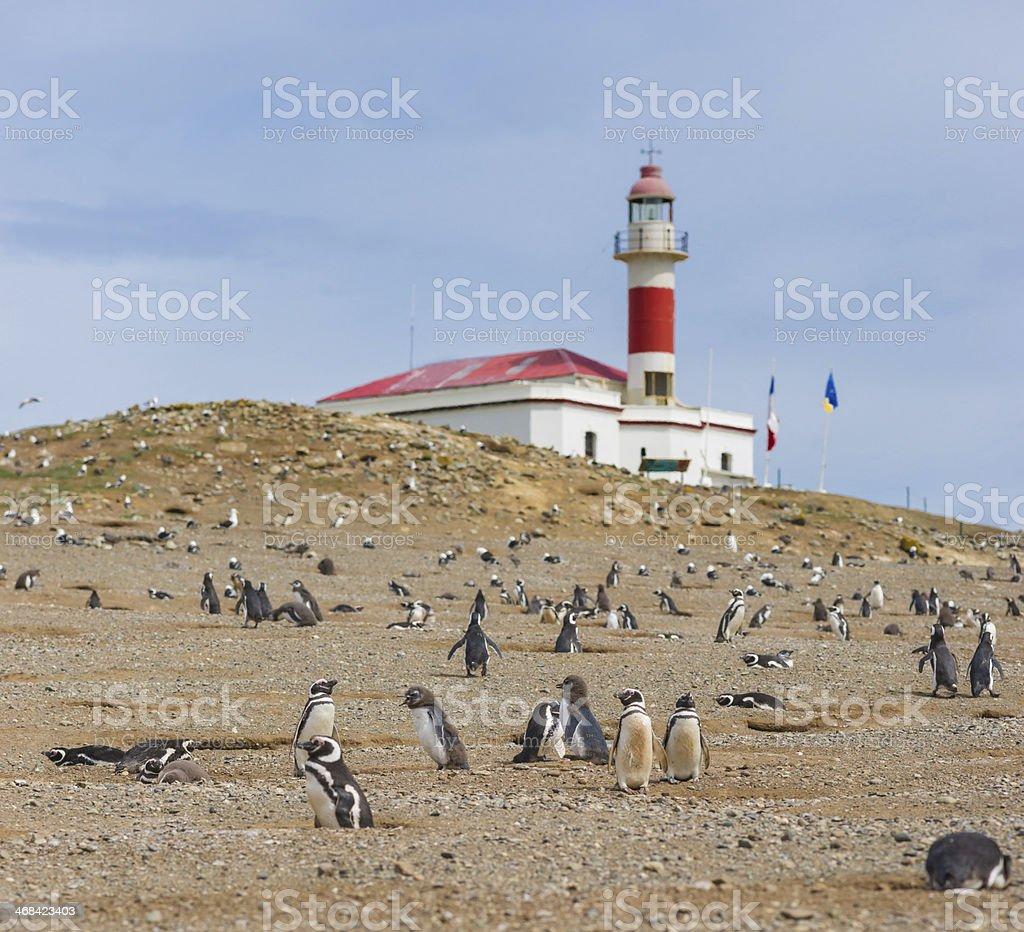 Magellan (Magellanic) Penguins stock photo
