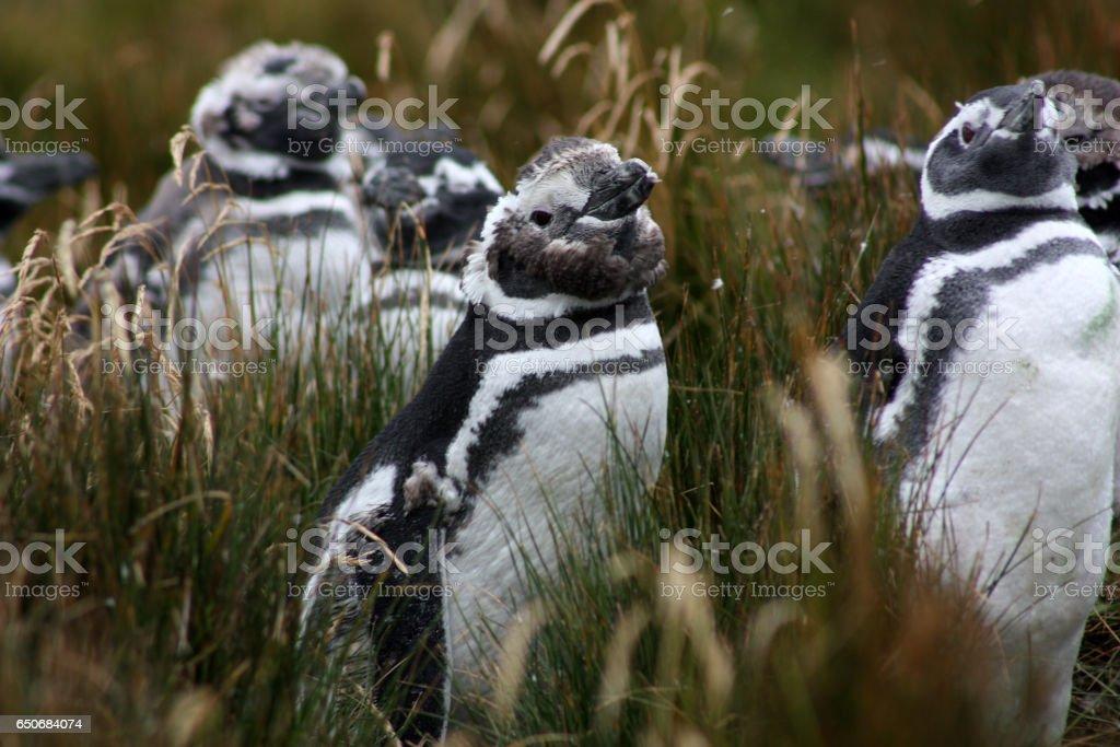 Magellan penguins stock photo