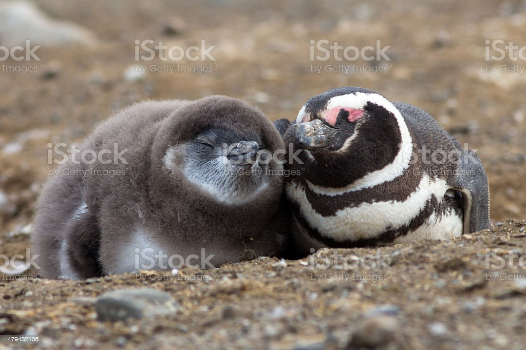 Magellanic Mother and Chick Penguin Cuddling stock photo