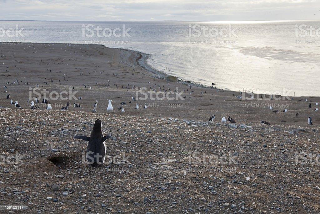 Magellanic penguin gazing at the panorama stock photo