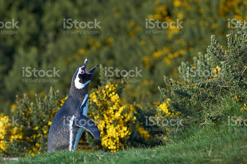 Magellanic Penguin (Spheniscus magellanicus) stock photo