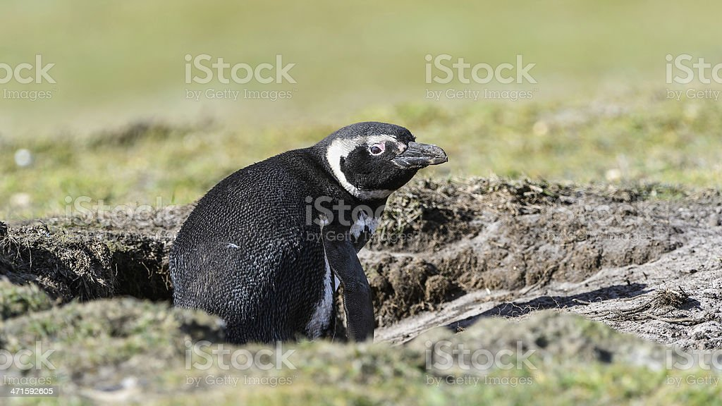 Magellanic penguin sits in a hall. royalty-free stock photo