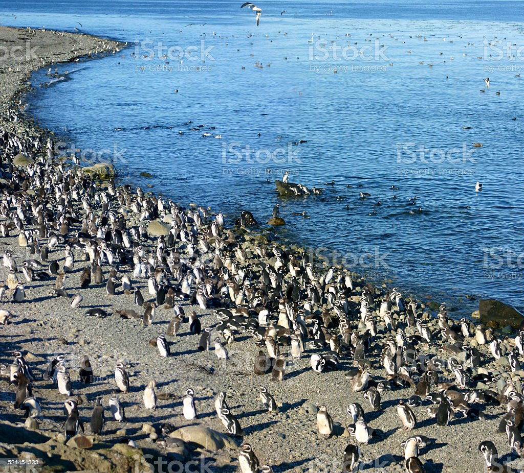 Magellanic Penguins aligned in a row stock photo