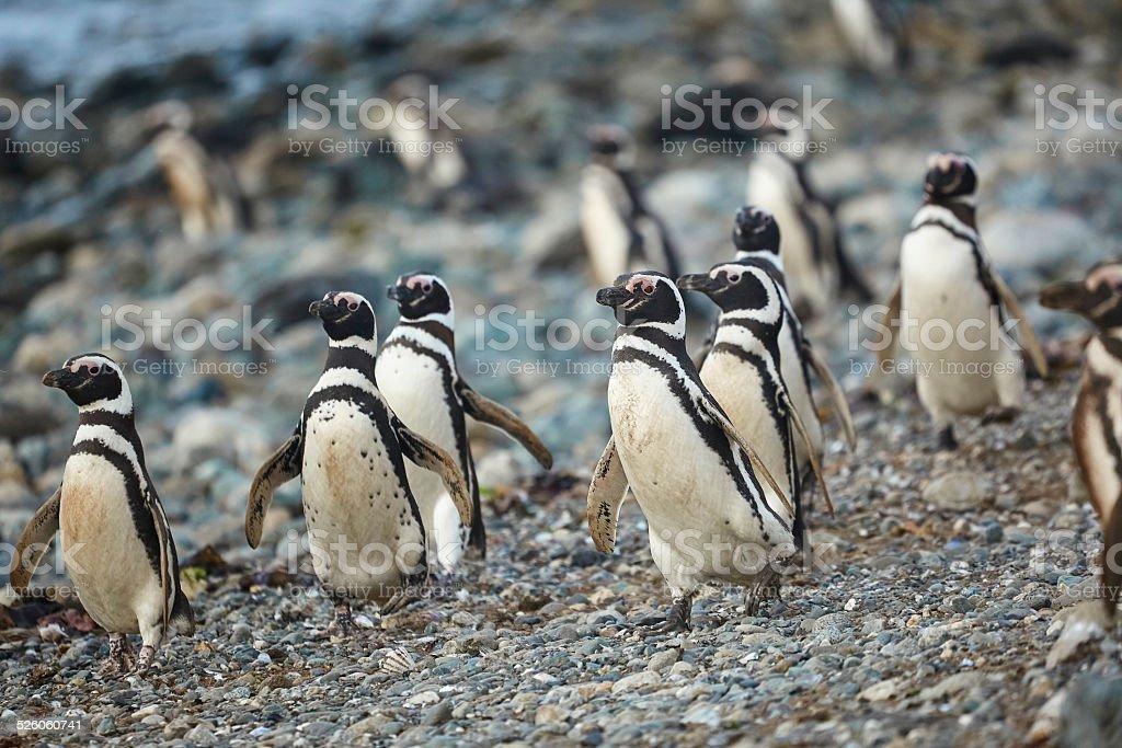Magellanic penguins in natural environment stock photo