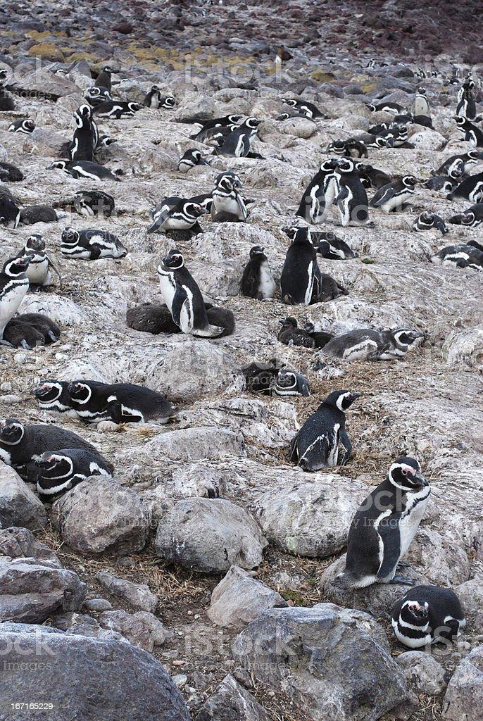 Magellanic penguins in Patagonia stock photo