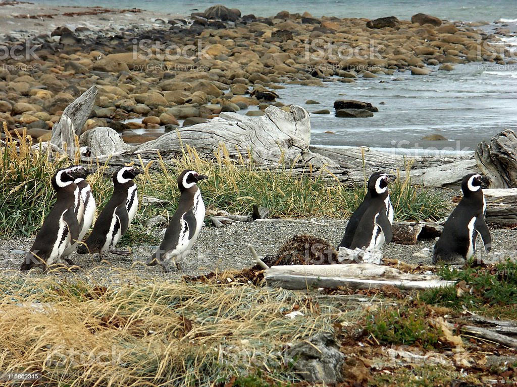 Magellanic penguins in Punta Arenas,Patagonia,Chile stock photo