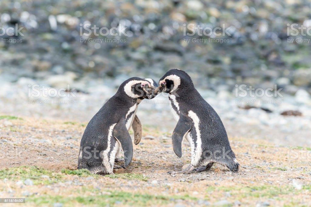 Magellanic penguins on Magdalena island, Chile, South America stock photo