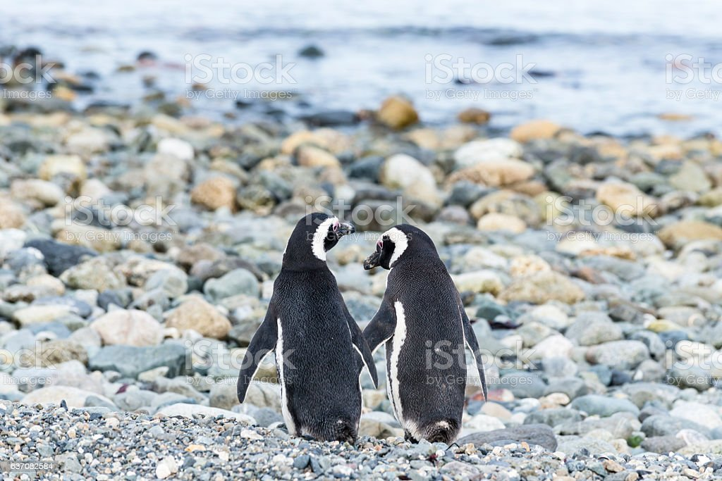 Magellanic penguins on Magdalena island in Patagonia, Chile, South America stock photo