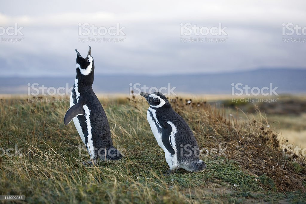 Magellanic Penguins royalty-free stock photo