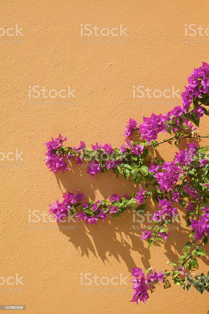 Magenta Bougainvillea Grows Against Orange Stucco Wall royalty-free stock photo