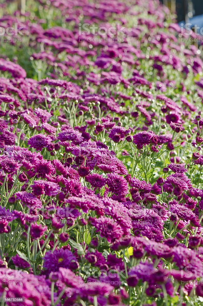 Magenta chrysanthemum farms. royalty-free stock photo