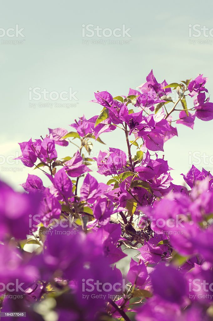 Magenta colored Bougainvillea with light blue sky royalty-free stock photo
