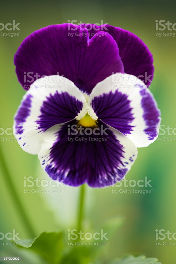 Magenta Colored Pansy Flower stock photo