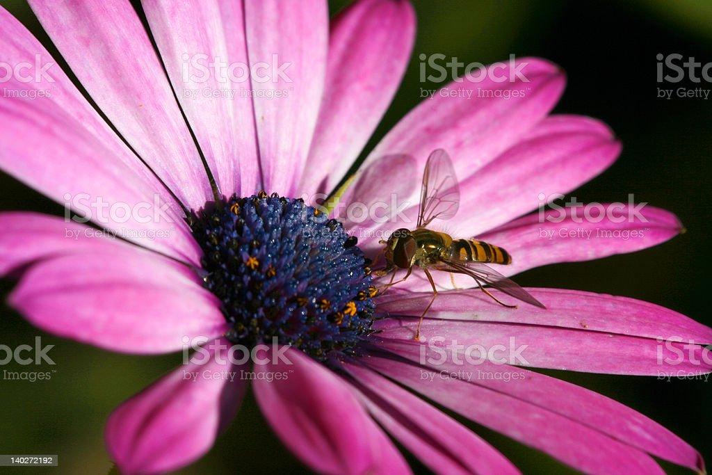 Magenta daisy with bee royalty-free stock photo