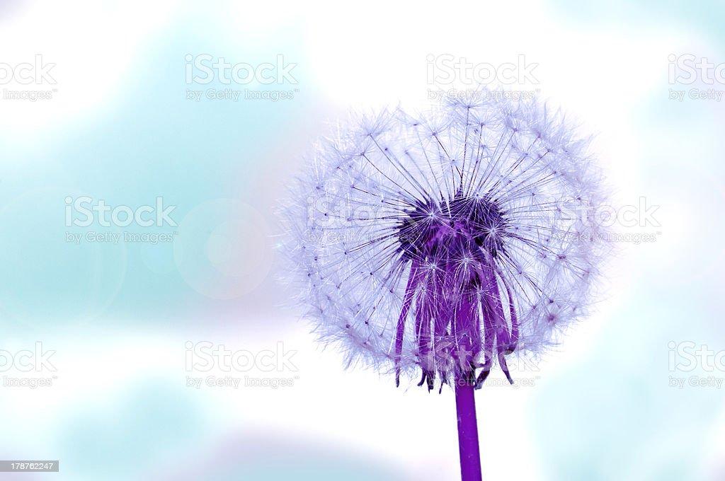 Magenta dandelion royalty-free stock photo