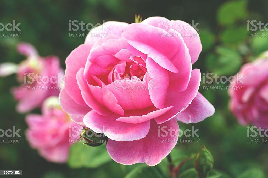 Magenta garden roses stock photo