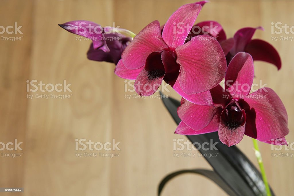 Magenta Orchid royalty-free stock photo