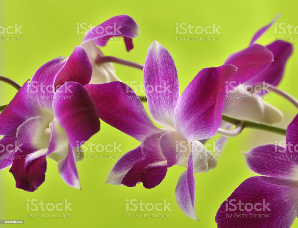 Magenta pink orchid on bright green background royalty-free stock photo