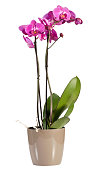 Magenta pink phalaenopsis orchid in a pot