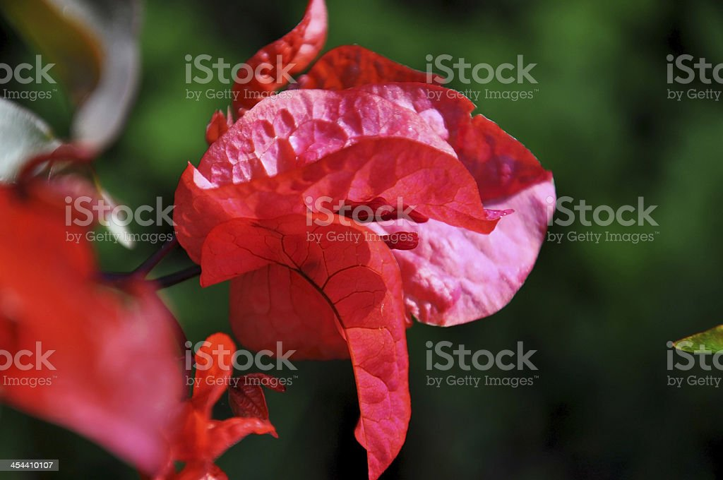 Magenta red Bougainvillea,  close up. stock photo