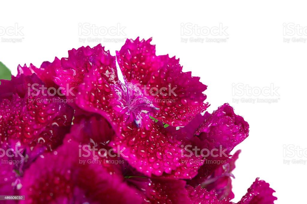 Magenta Sweet William (Dianthus Barbatus) Flowers Macro on White Background stock photo