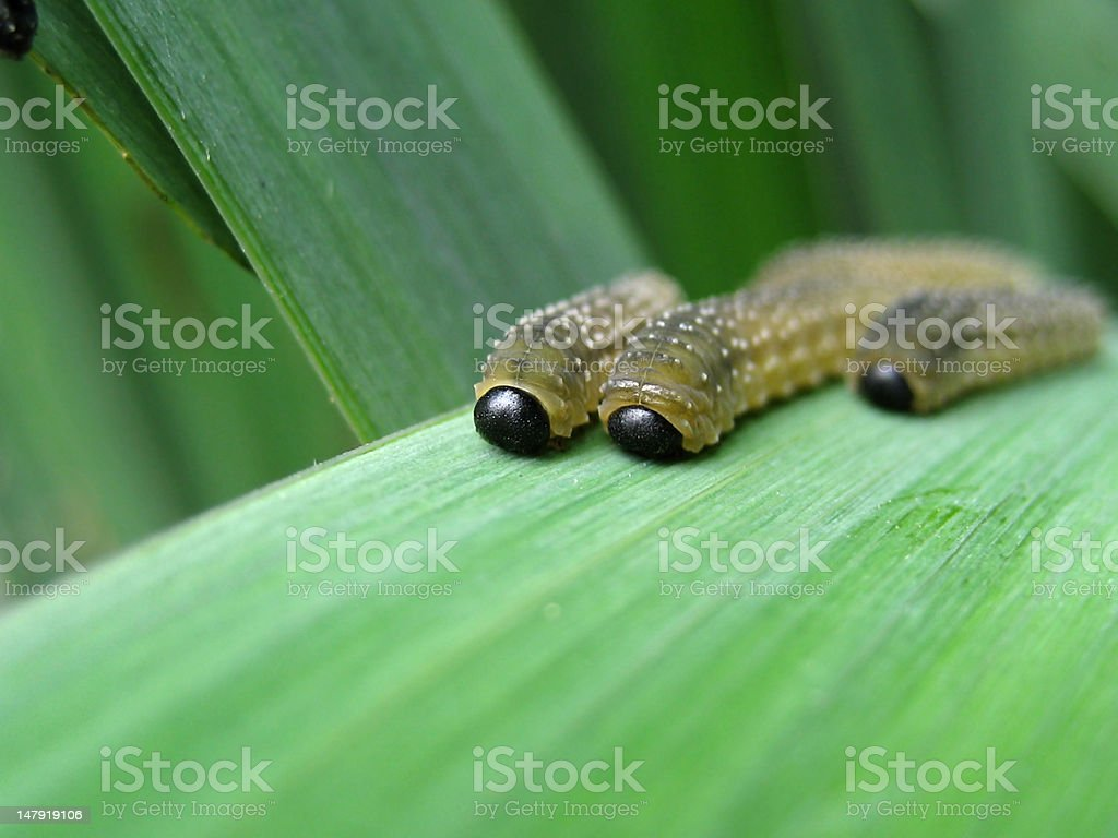 maggot and sawfly stock photo