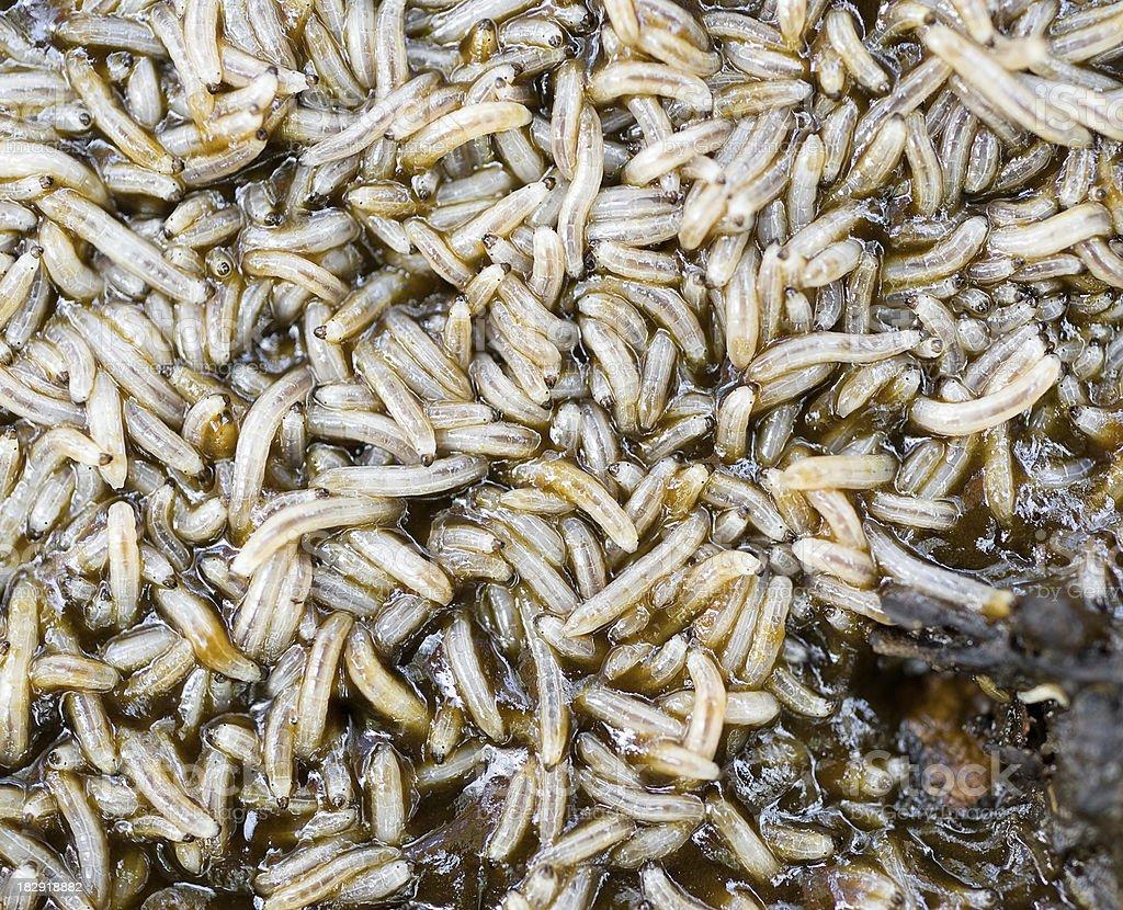 Maggot Larvae stock photo