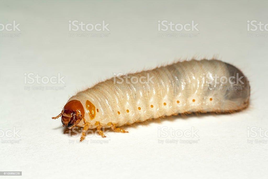 maggot of chafer stock photo