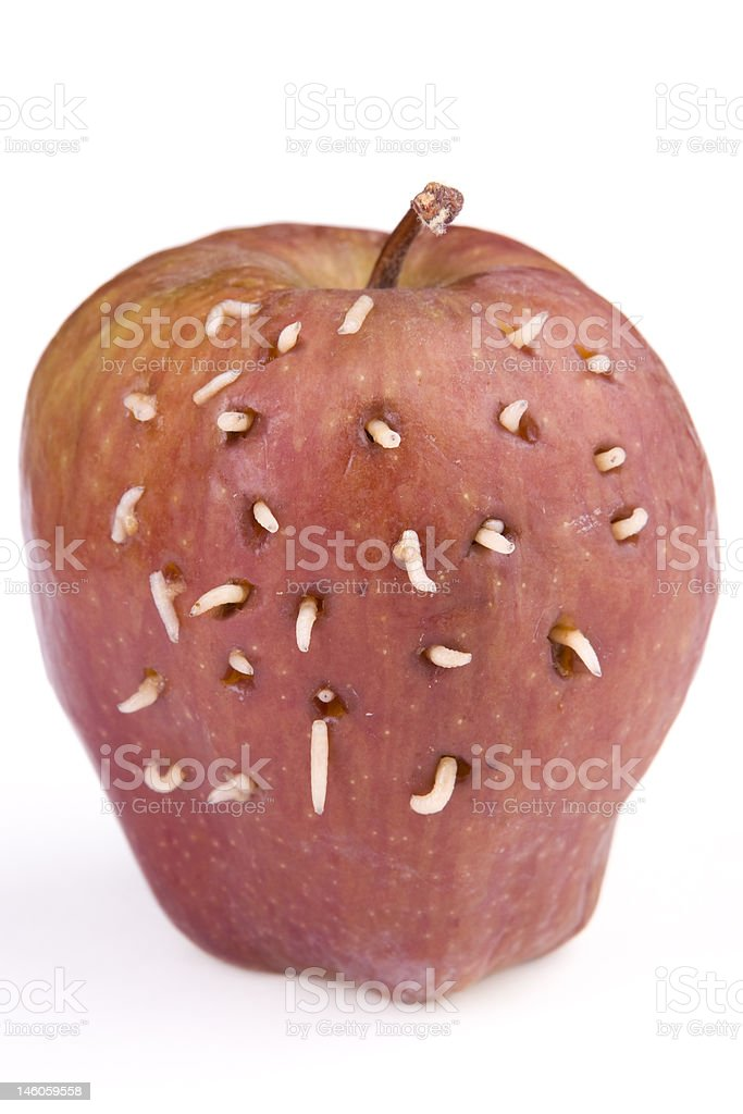 Maggots come out from rotten apple royalty-free stock photo