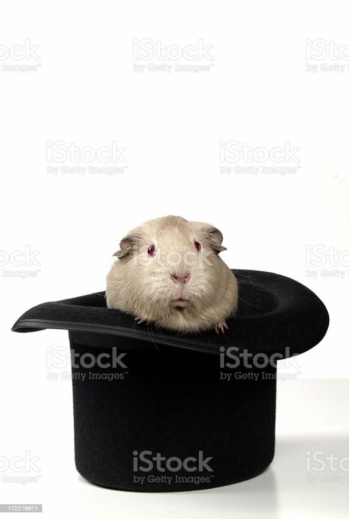 Magic Guinea Pig stock photo