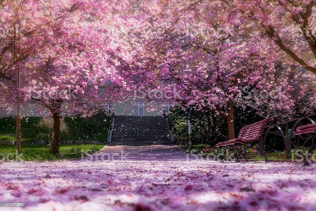 Magic light in cherry tree park stock photo