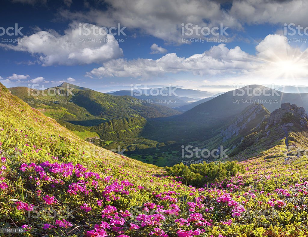 Magic pink rhododendron flowers in summer mountain stock photo