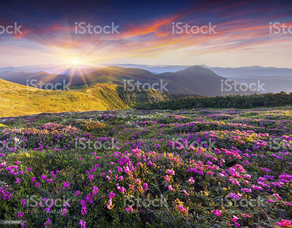 Magic pink rhododendron flowers in the mountains. stock photo