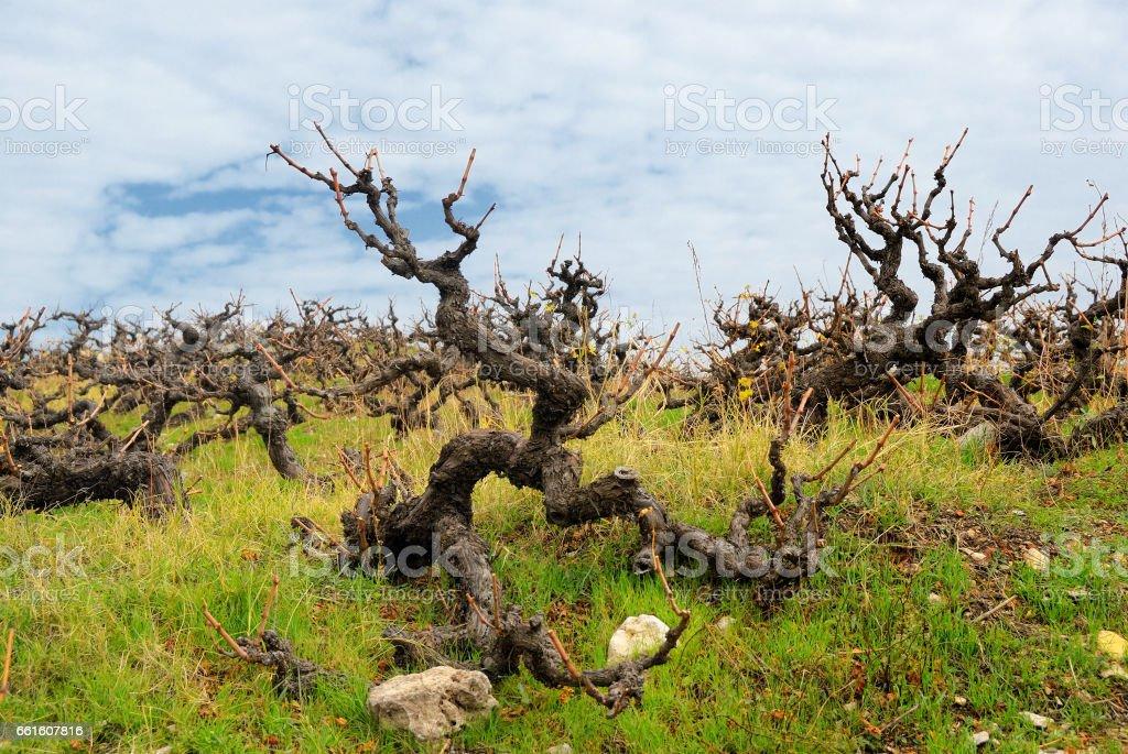 Magic sinister grape bush stock photo