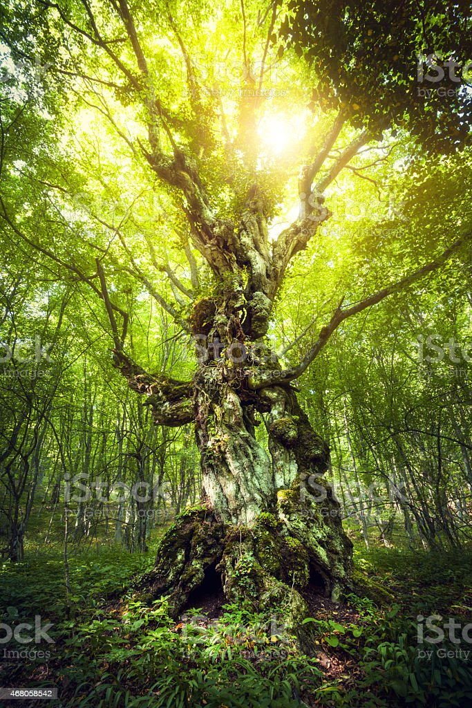 Magic Tree. Beautiful spring sunrise in the forest stock photo