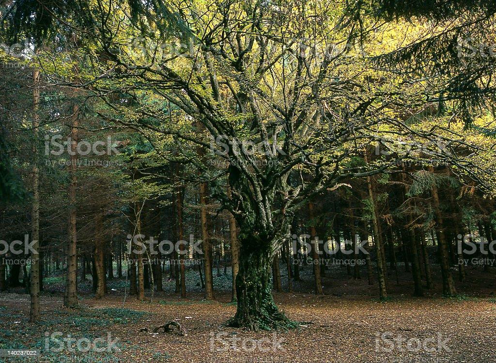 Magic tree royalty-free stock photo
