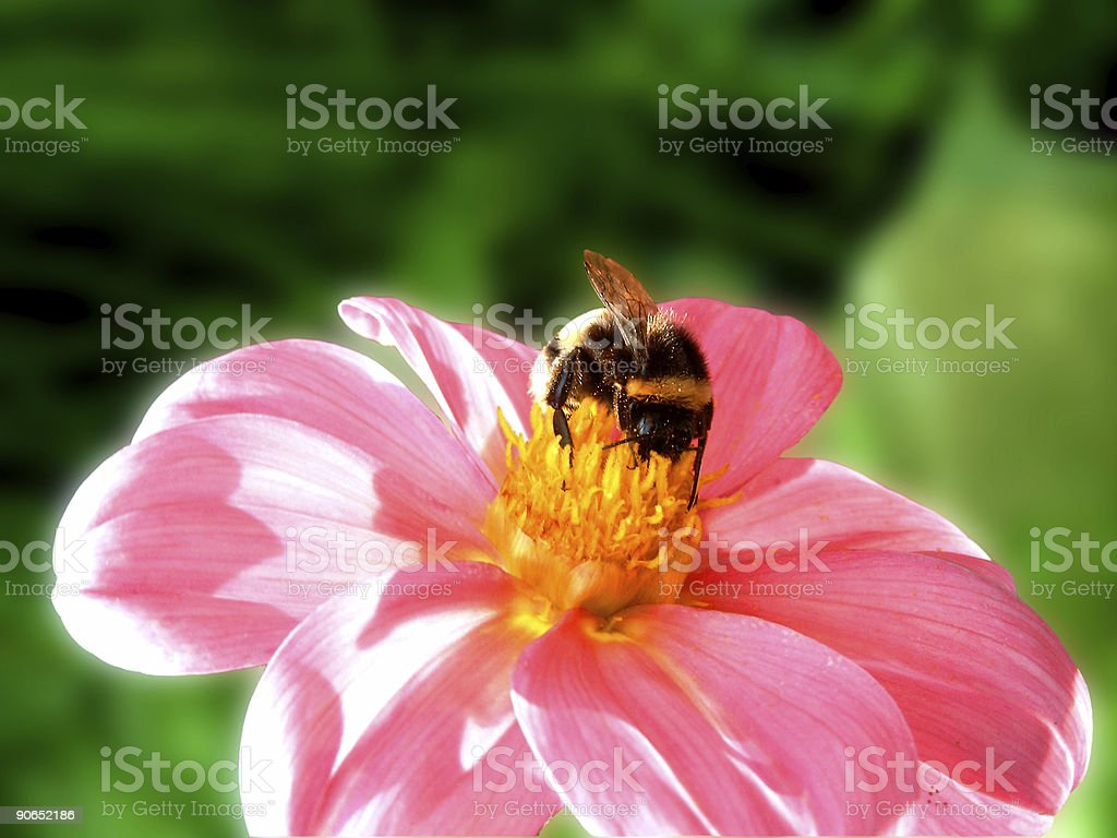 magical bee stock photo
